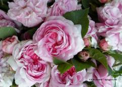 Rosa damascena (Damaszener-Rose / Rose de Damas)