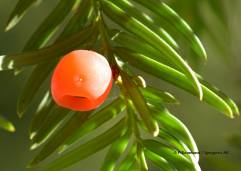 Taxus baccata (Eibe / If)